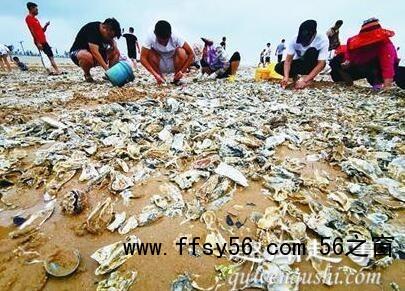 青岛市民捡海鲜 究竟是在哪里有这么多海鲜?